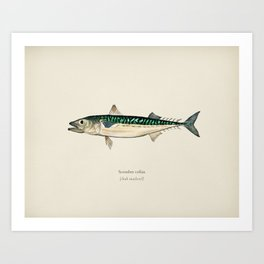 Chub mackerel (Scomber colias) illustrated by Charles Dessalines D' Orbigny (1806-1876) Art Print