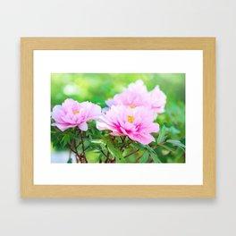 Pink  Peony Flower Framed Art Print