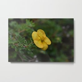 Yellow Orange Potentilla Metal Print