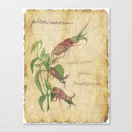 Planimarium - astacoidea justicia brandegeeana Canvas Print