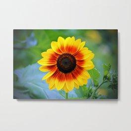 Yellow Red Sunflower Metal Print