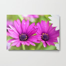 Morning Dew on Purple Daisies by Reay of Light Photography Metal Print