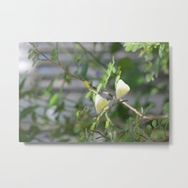 Pair of Great Southern White butterflies Metal Print