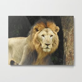 Lion the King of Beasts Metal Print