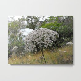 Queen Annes Lace Meadow Flower Metal Print