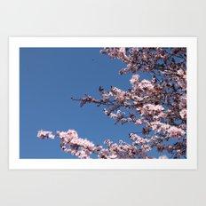 Sakura Blossoms Art Print