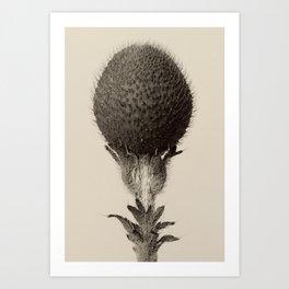 Karl Blossfeldt - Thorned Bulbous Plant Art Print