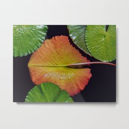 Nymphaea Tropic Sunset Lily Pad Leaves Metal Print