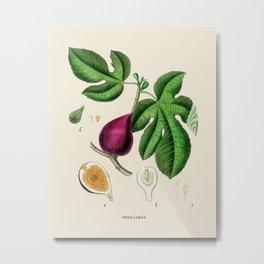 Vintage Fig Botanical Illustration Metal Print