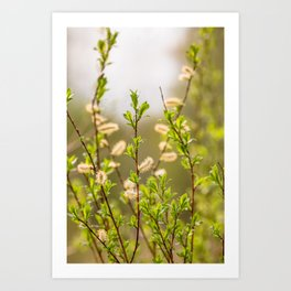 Spring willow branches Art Print
