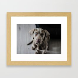 Weimaraner puppy looking sweet Framed Art Print