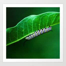 Monarch Caterpillar Art Print