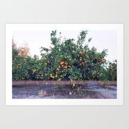 Citrus Farm Full of Orange Trees Art Print
