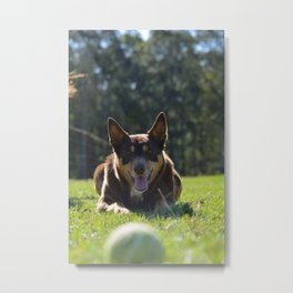 Onea, Australian Cattle Dog Metal Print