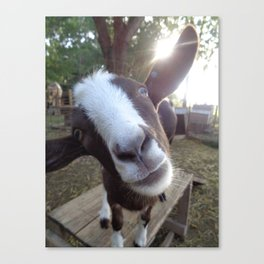 Goat Barnyard Farm Animal Canvas Print