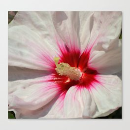 Raspberry Throated Rose Mallow Canvas Print