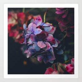 purple pink hydrangea Art Print