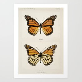 Monarch Butterfly | Monarch Butterflies | Moths and Butterflies of the United States | Vintage Butterflies |  Art Print