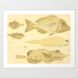 Fish of the Siboga Expedition (1913) - Scats, Foa, Triggerfish, Apogons Art Print