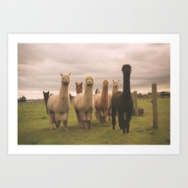 Alpacas at Tio Farm Art Print