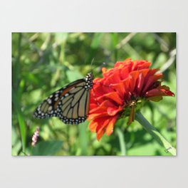Wildflower Monarch Butterfly Feeding Canvas Print