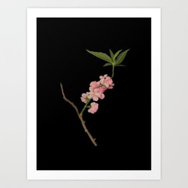 Amygdalus Persica  Mary Delany Delicate Paper Flower Collage Black Background Floral Botanical Art Print