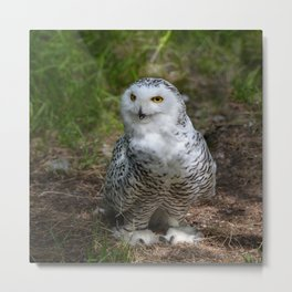Alaskan Snowy Owl - Summer Metal Print