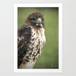 Red-tailed Hawk III Art Print