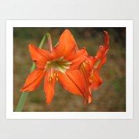 Orange lily flower photo Art Print
