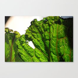 Cabbage at close range.  Canvas Print