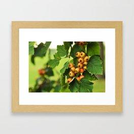 Berries on a tree Framed Art Print