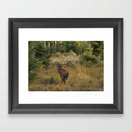 Red deer, rutting season Framed Art Print