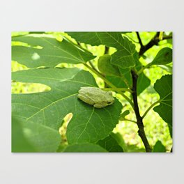 A frog in the fig tree Canvas Print