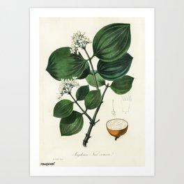 Vintage Botanical Print - 1836 - Poison nu (Strychnos nux-vomica) Art Print