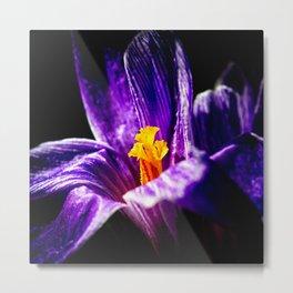 Violet Crocus Flower, Shining Yellow Stigmas Metal Print