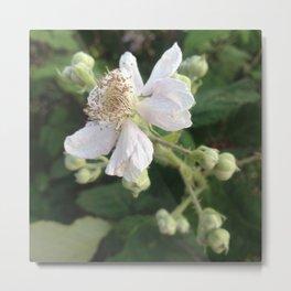 Blackberry blossom Metal Print