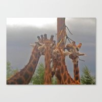 giraffes Canvas Prints featuring Giraffes by Bloon Images