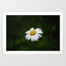 daisy in the rain Art Print