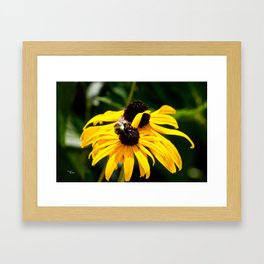 Black-eyed Susan - Rudbeckia Hirta Framed Art Print