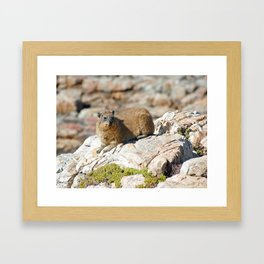 African Rock Hyrax Framed Art Print