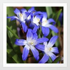 Early Spring Blue - Chionodoxa Art Print