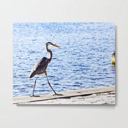 Blue Heron Strut Metal Print