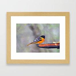 Oranges for the Oriole Framed Art Print
