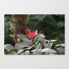 Wild Orchid Flower in Costa Rica Canvas Print