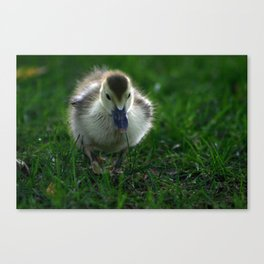 Cute Duckling Walking on a Lawn Canvas Print
