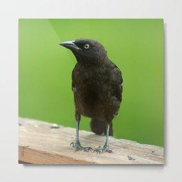 Black Bird Common Grackle Metal Print