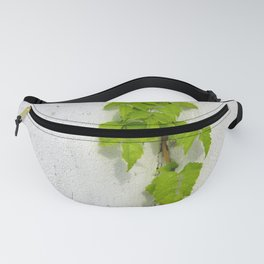 Wisteria plant climbing white plastered wall Fanny Pack