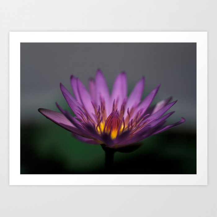 Lotos Water lily Art Print