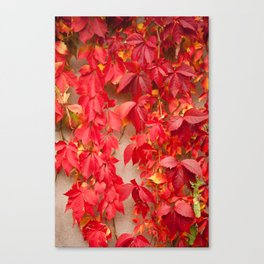 Vitaceae ivy wall abstract Canvas Print