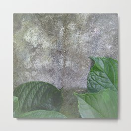 Urban Plant hydrangea leaves on concrete wall Metal Print